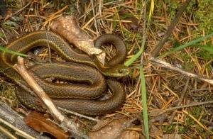 Bowen-Garter-Snake-0019