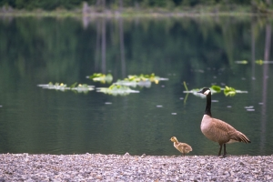 Goose-and-Gosling-Killarney-Lake-0050